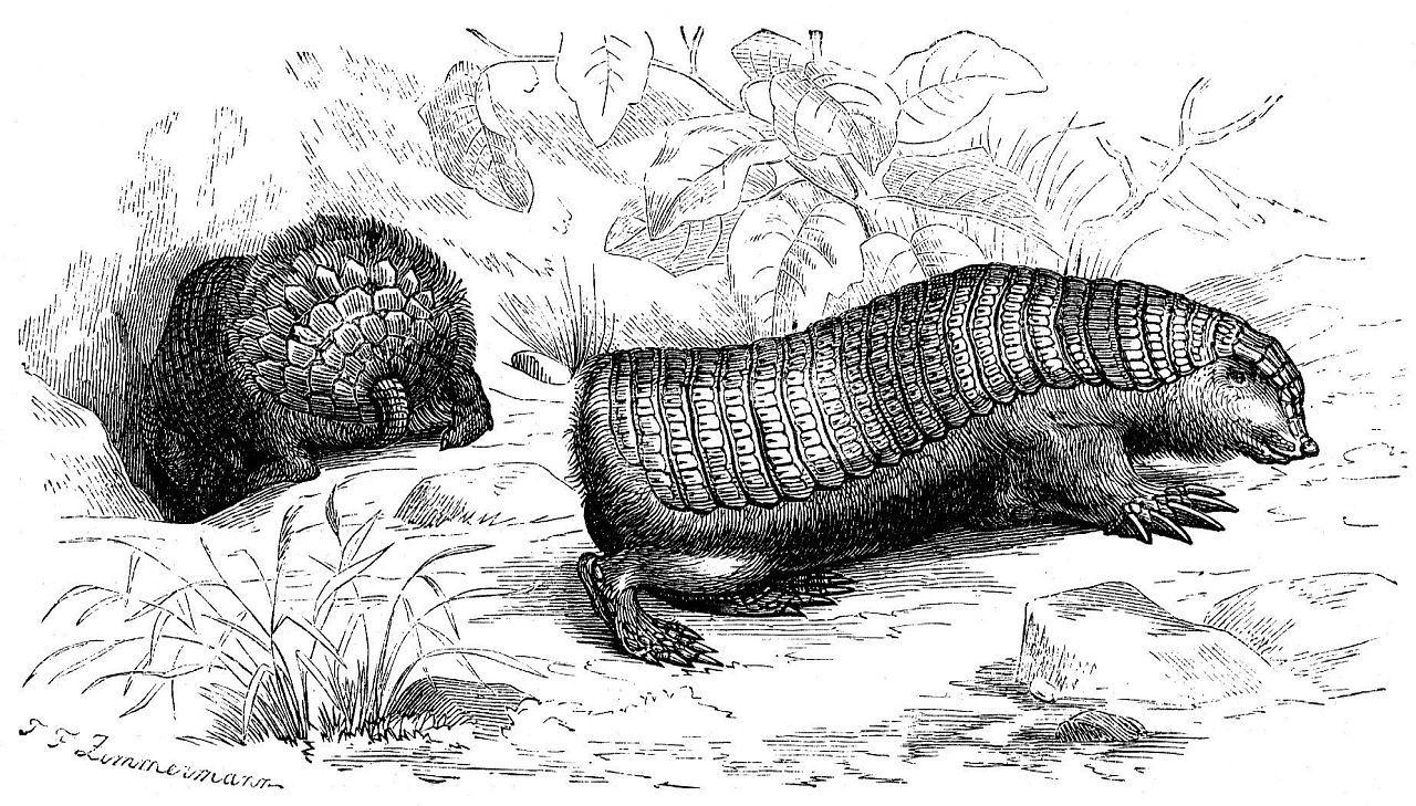 Плащеносный броненосец (Chiamyphorus truncatus)