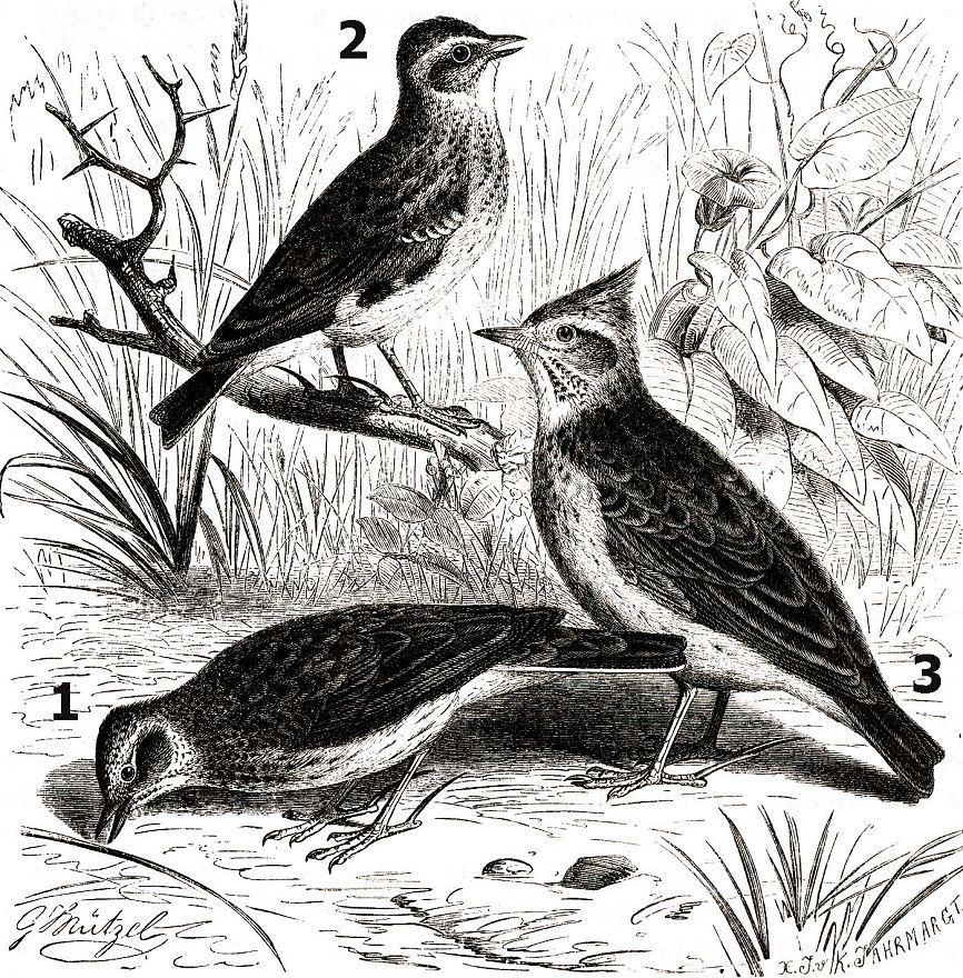 1 — Полевой жаворонок 2 - Лесной жаворонок 3 — Хохлатый жаворонок