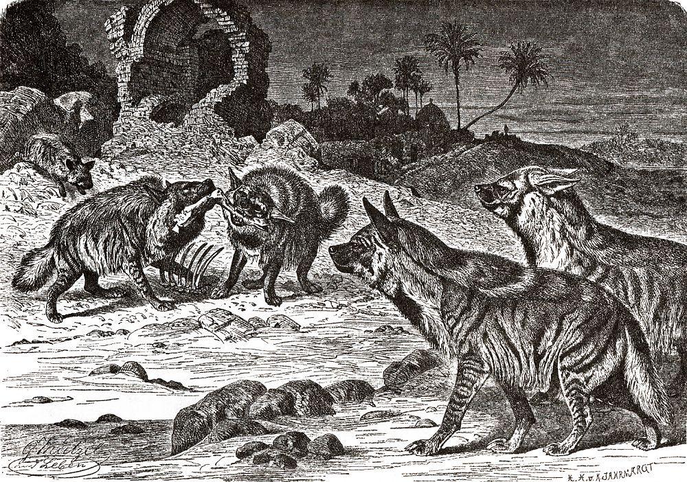 Полосатая гиена (Hyaena brunnea)