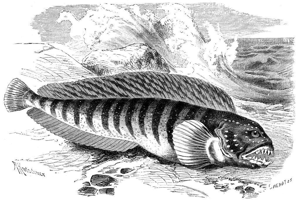 Полосатая, или обыкновенная, зубатка (Anarhichas lupus)
