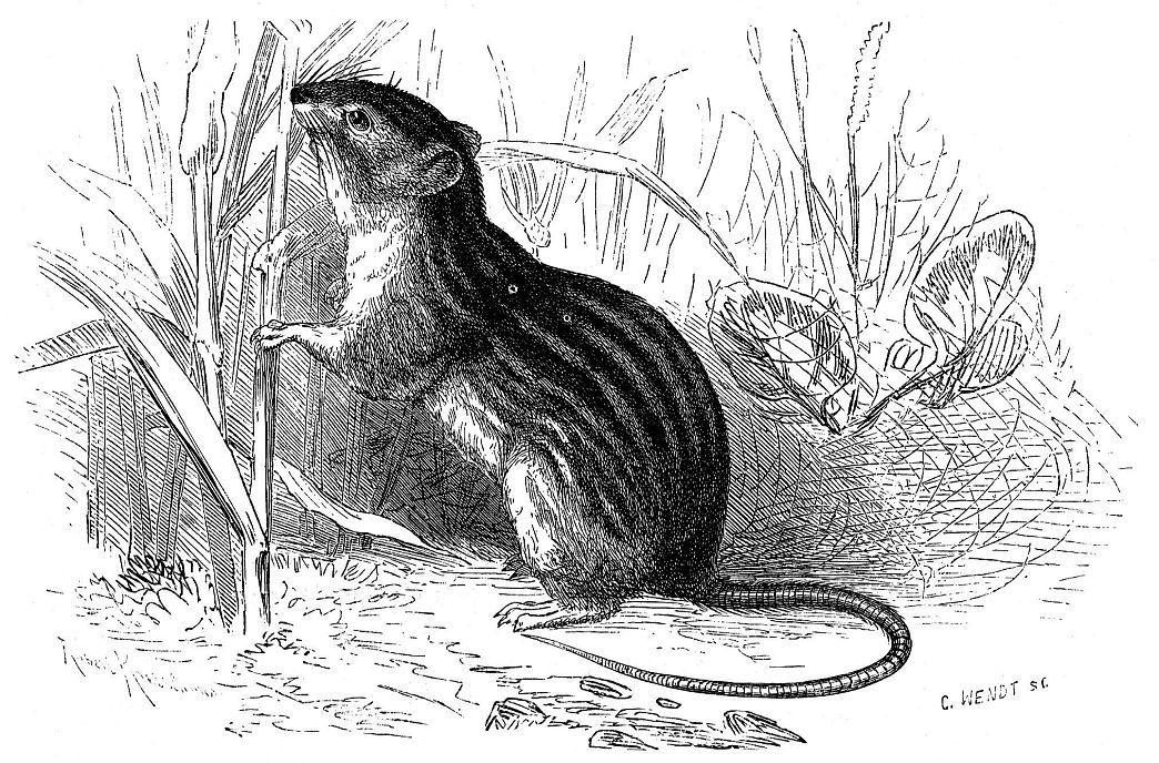 Полосатая, или варварийская мышь (Lemniscomys barbarus)