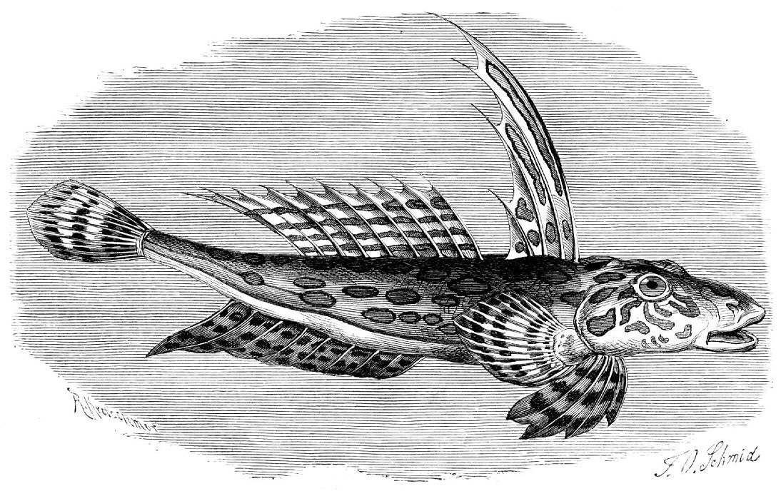 Полосатая пескарка, самец (Callionymus lyra)