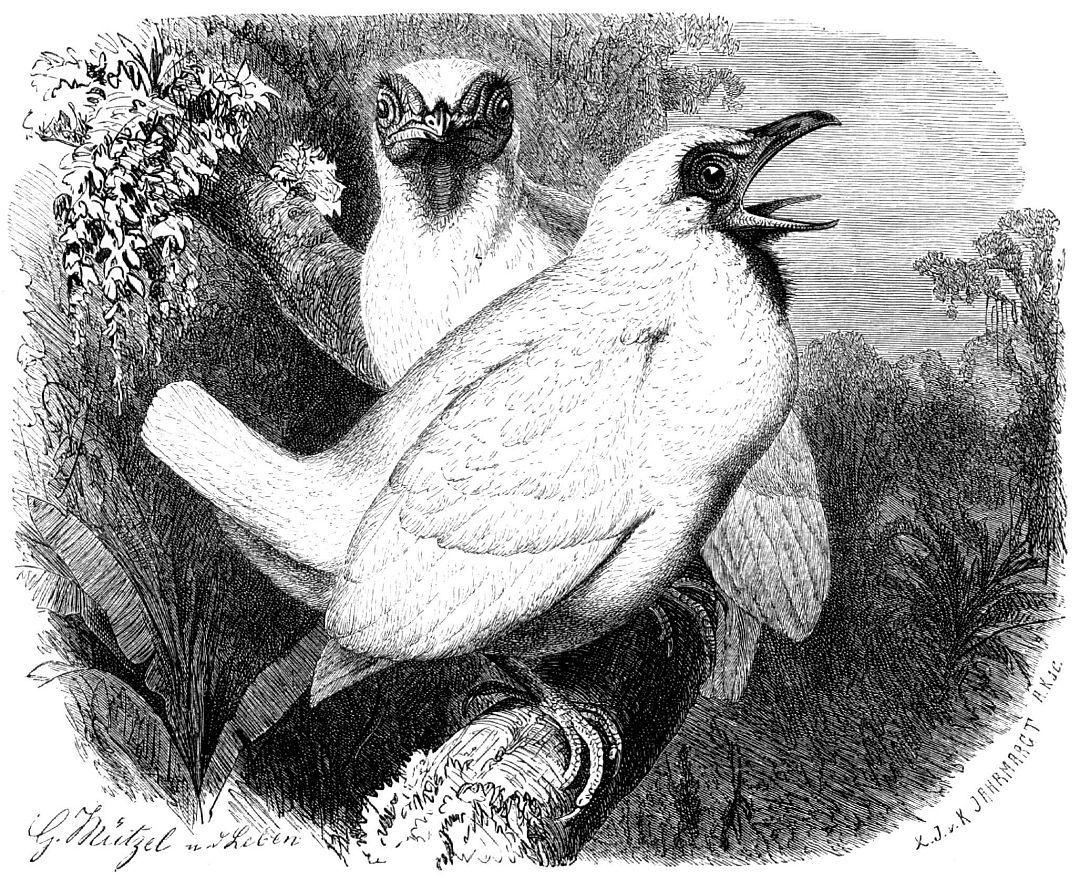 Птица-колокольчик (Procnias nudicollis)