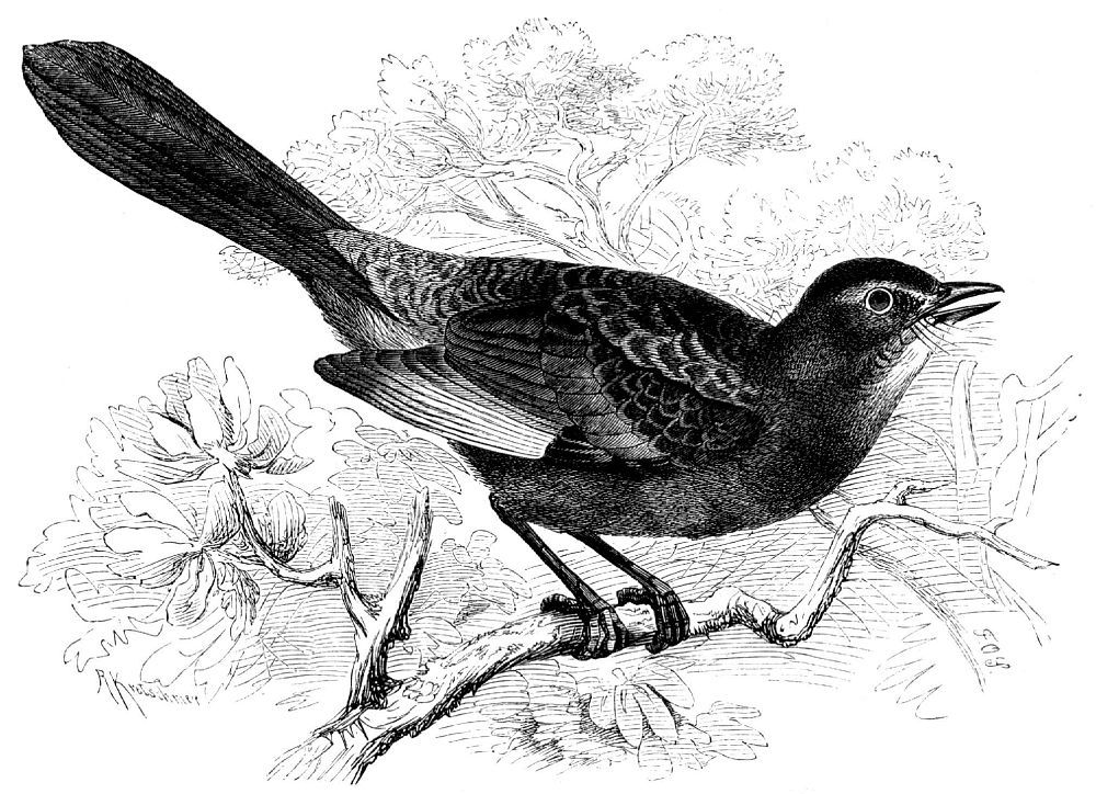 Птица-кошка (Dumetella carolinensis)