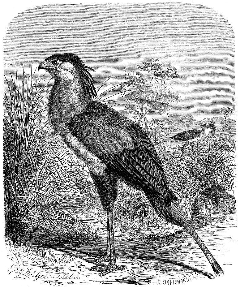 Птица-секретарь (Sagittarius serpentarius)
