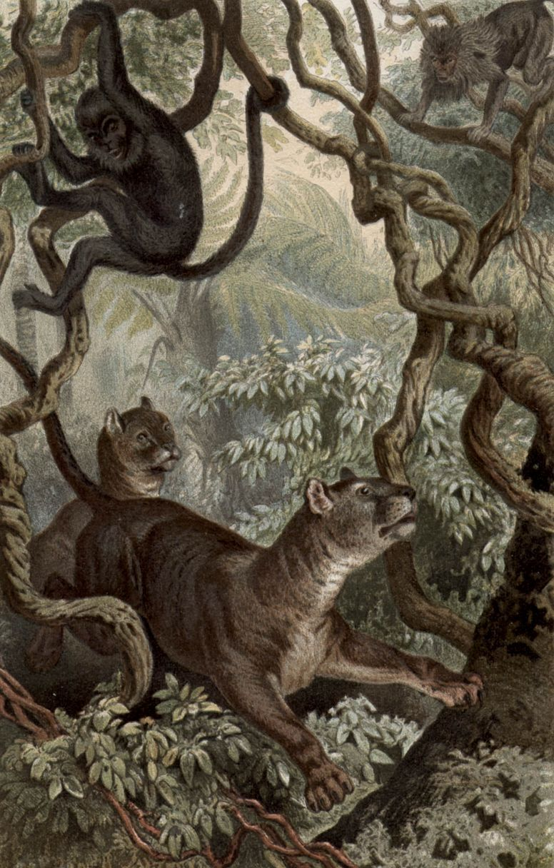 Пума (Puma concolor)