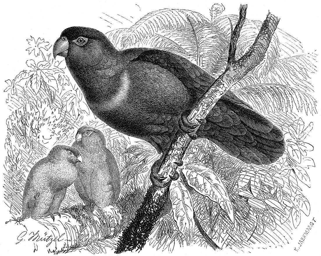 Пурпурношапочный широкохвостый лори (Lorhis domicellus)