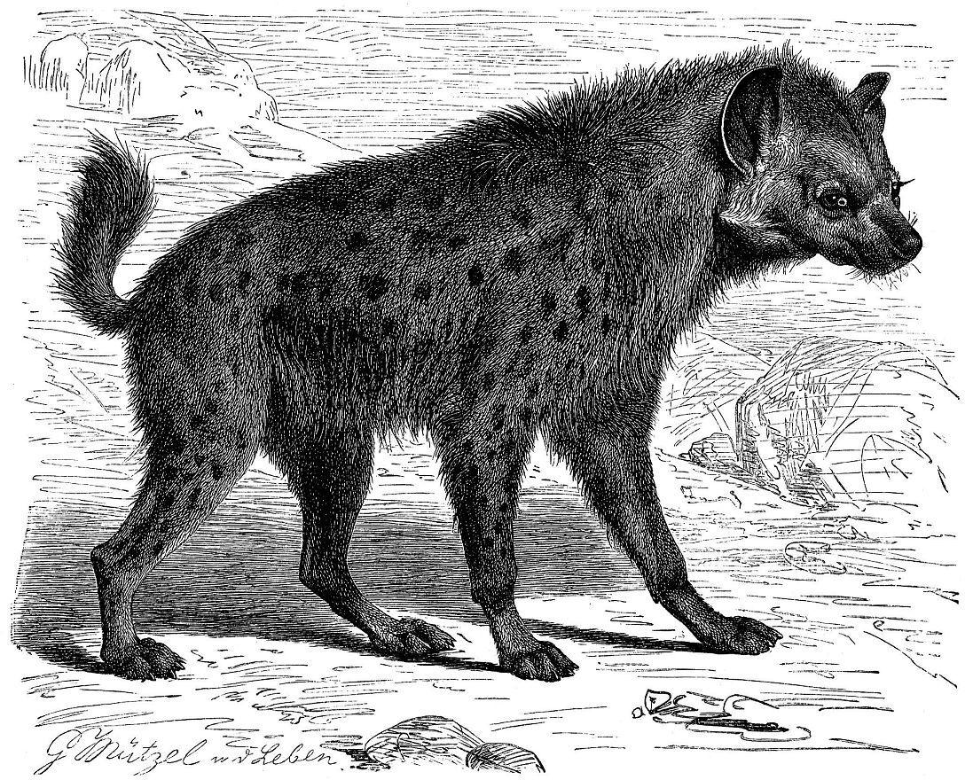 Пятнистая гиена (Crocuta crocuta)