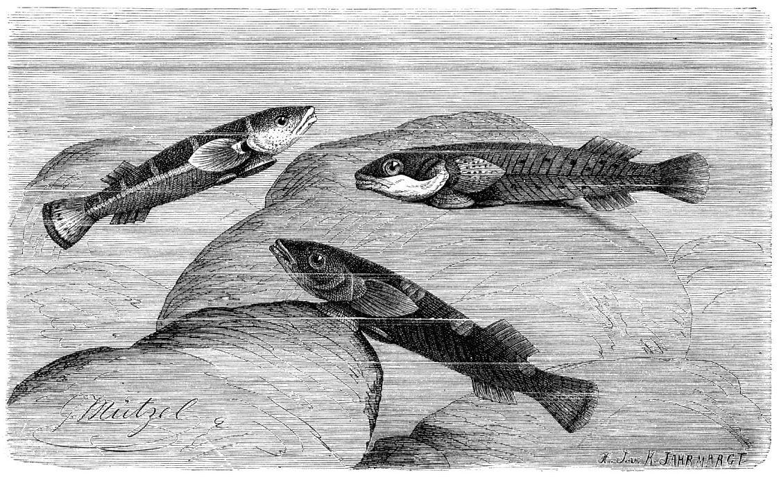 Пятнистая присоска (Diplecogaster bimaculata)
