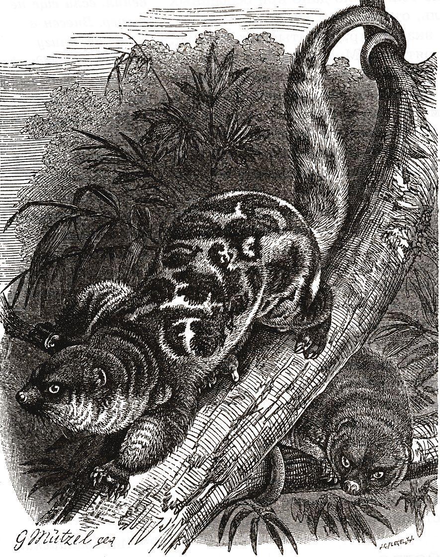 Пятнистый кускус (Phalanger maculatus)