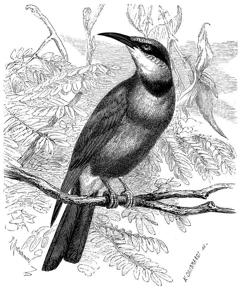 Радужная щурка (Merops omatits)