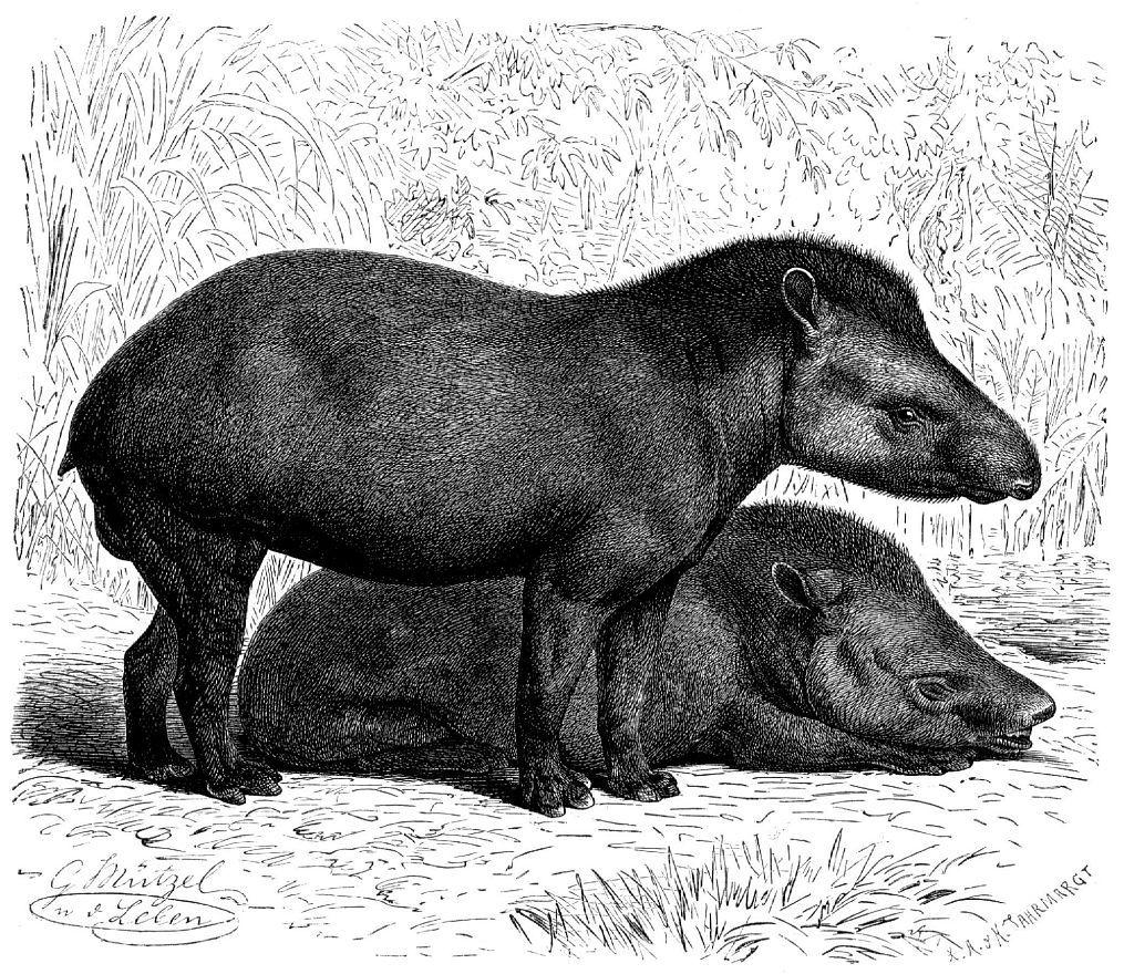 Равнинный тапир (Tapirus terrestris)