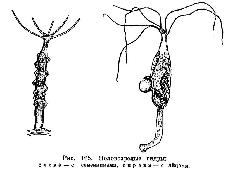 Гонады образуются в эктодерме