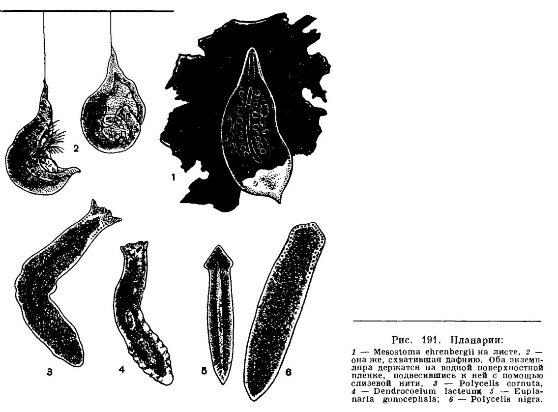 Tricladida plathelminthen, Petefészek membrán kezelése gyermekeknél