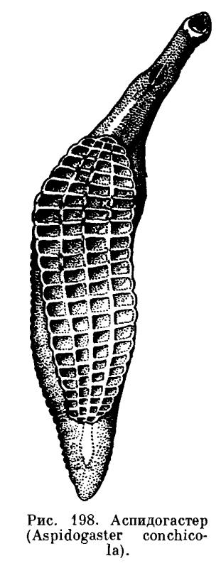 трематода паразит человека и водоплавающих птиц