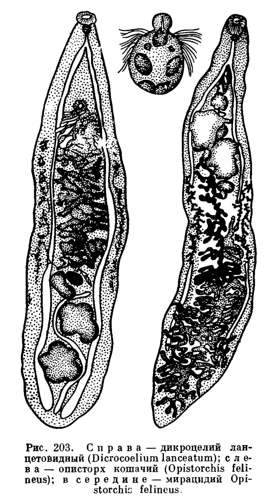Трематода I фото