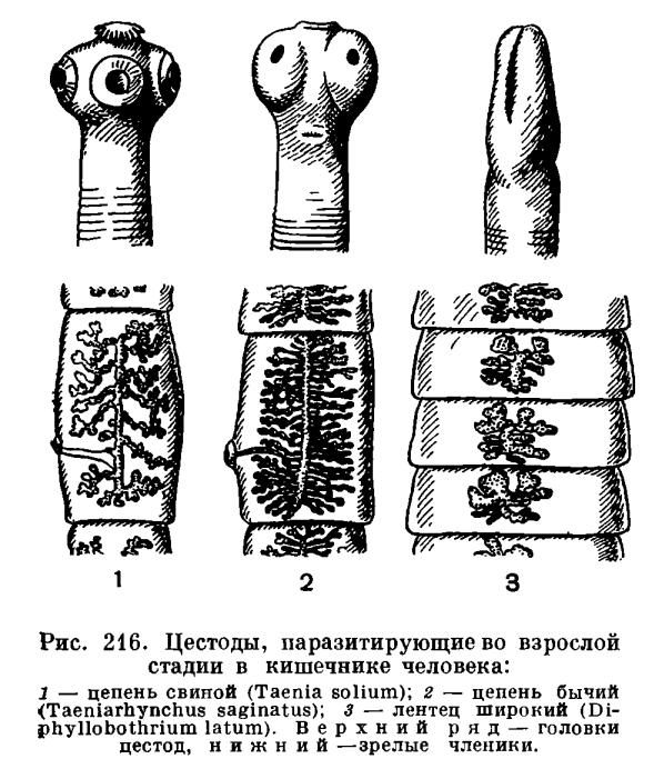 личиночные стадии паразитов