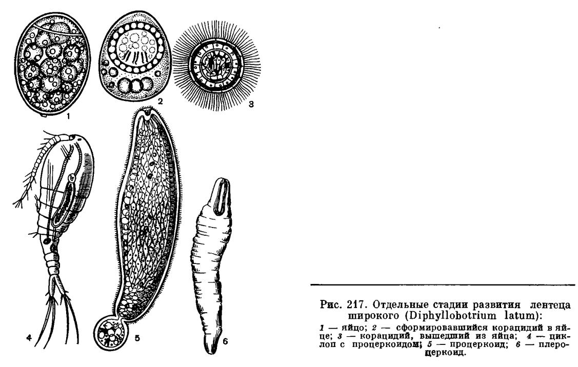 Плероцеркоид