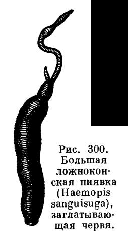 Отряд Челюстные или Бесхоботные пиявки (Gnathobdellea или Arhynchobdellea)