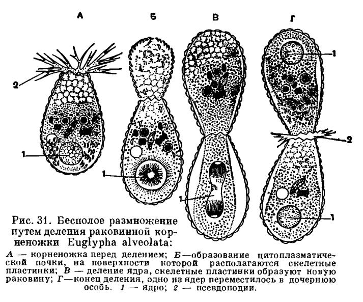 Подкласс Корненожки (Rhizopoda)