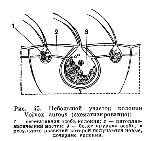 клетка вольвокса