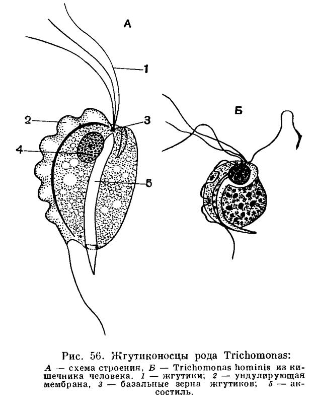 Рис. 56.  Жгутиконосцы рода Trichomonas: А - схема строения; Б - Trichomonas hominis из кишечника человека.