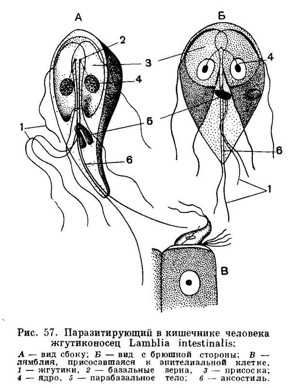 паразиты у человека и животных