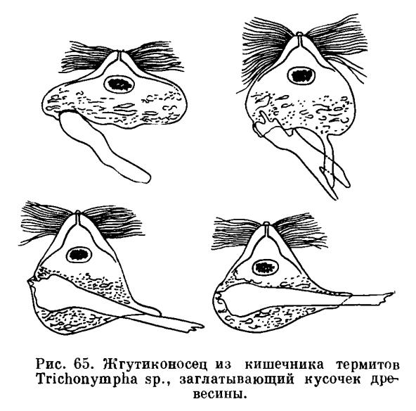 Копуляция (У Простейших) фото