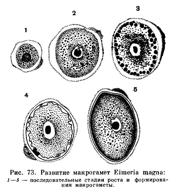 Макрогаметоцит