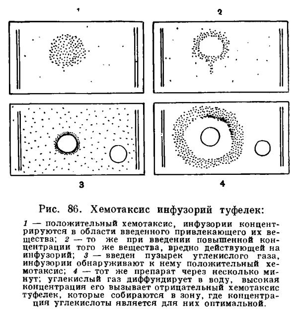 Хемотаксис фото