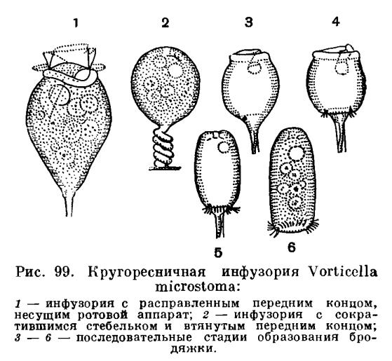 паразиты в деснах человека