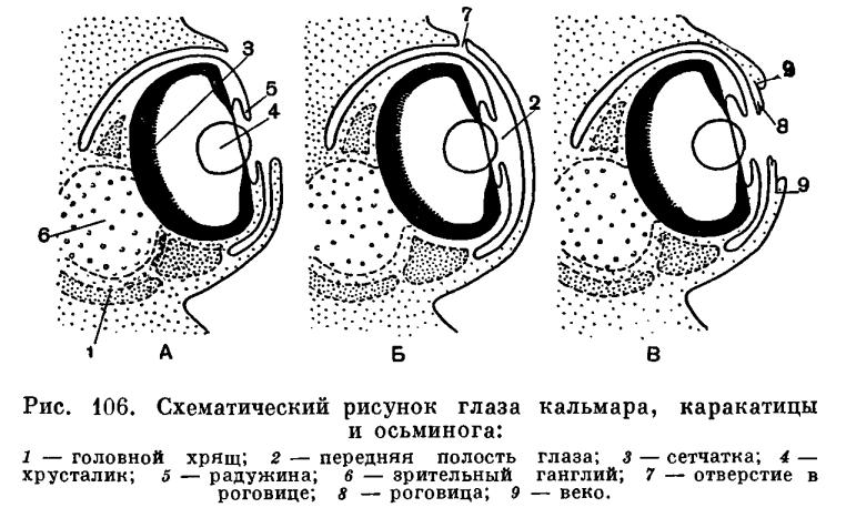 Гирокотилиды