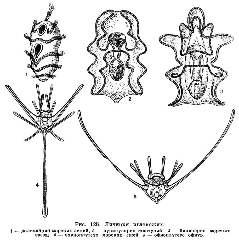 КЛАСС ОФИУРЫ ИЛИ ЗМЕЕХВОСТКИ (ОРНUROIDEA)