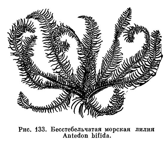 КЛАСС МОРСКИЕ ЛИЛИИ (CRNDEA)