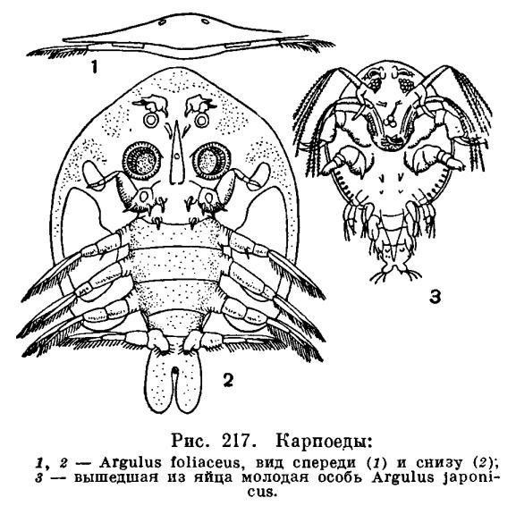 Отряд Карпоеды или Карповые вши (Branchiura)