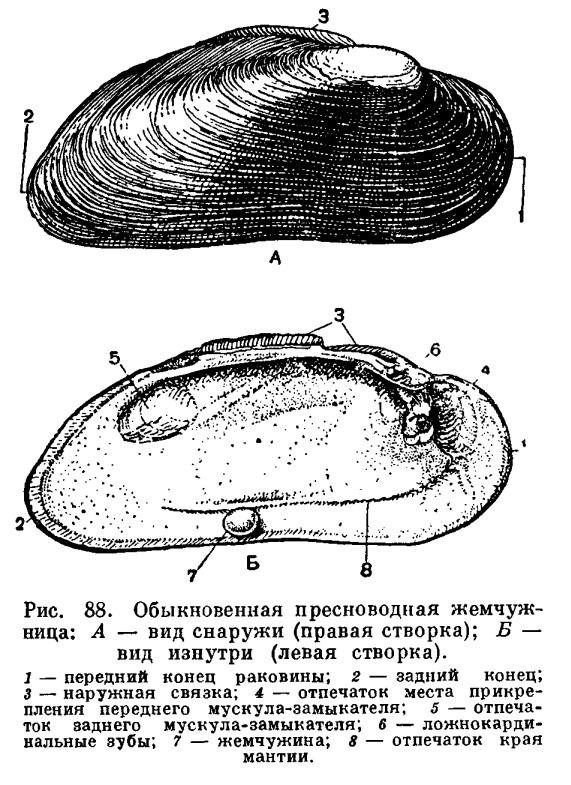 Отряд Настоящие пластинчатожаберные (Eulamellibranchia)
