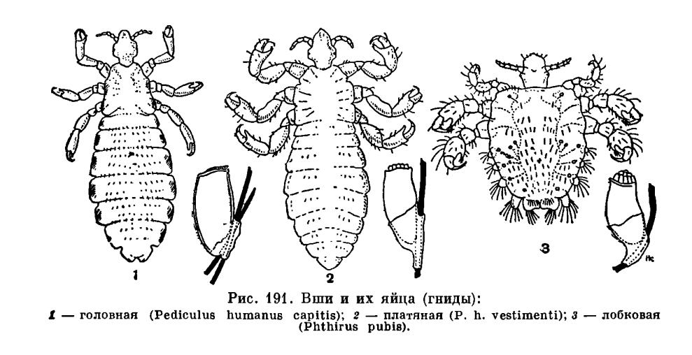 паразиты вши человека
