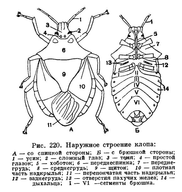 Отряд Полужесткокрылые или Клопы (Hemiptera) - это... Что такое ...