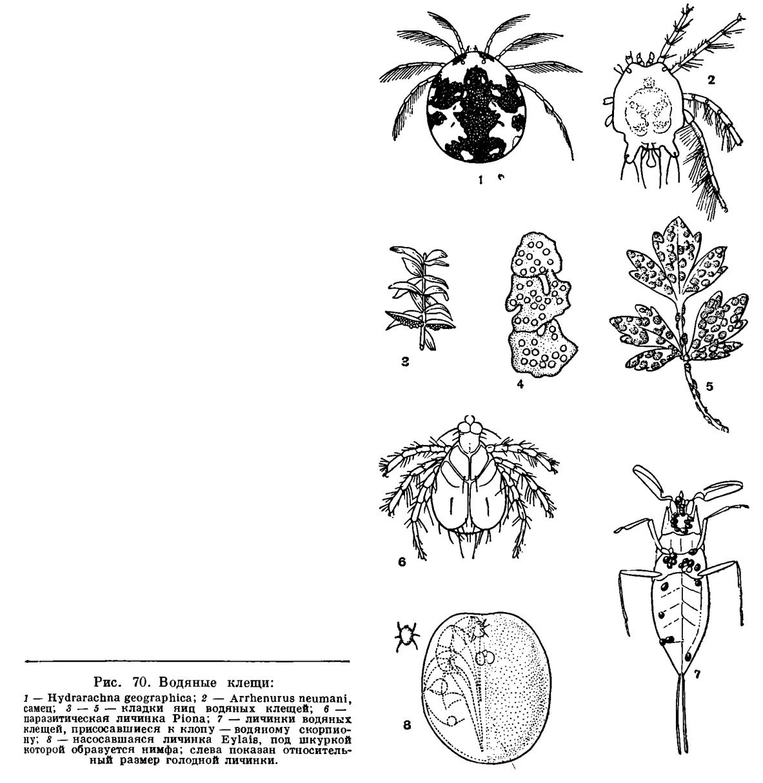 Клещ-Тромбикулид фото