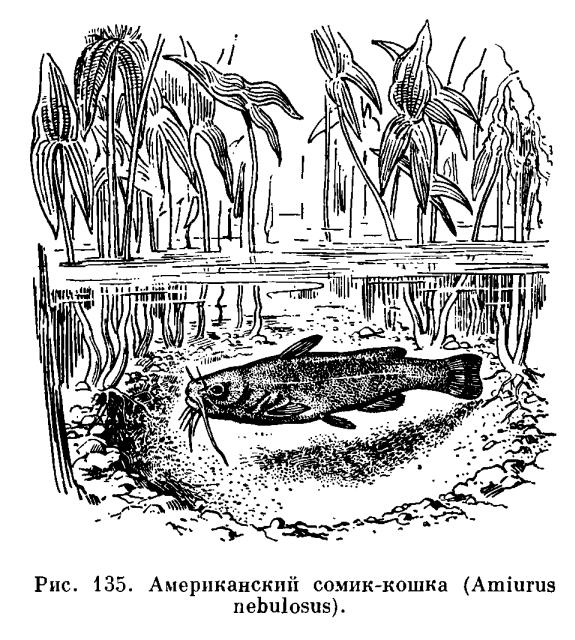 Семейство Кошки-сомы или Кошачьи сомы (Ictaluridae)