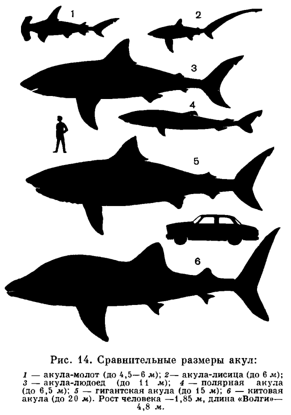 Список видов акул — Википедия