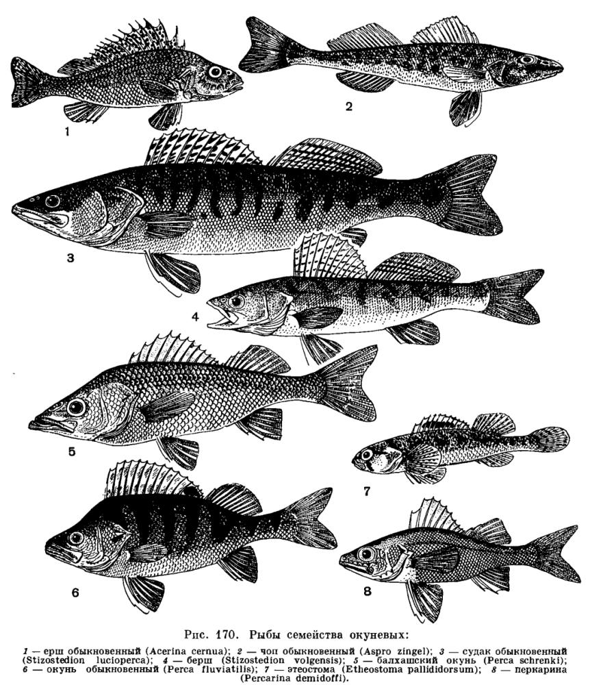Доклад основные семейства рыб 7198