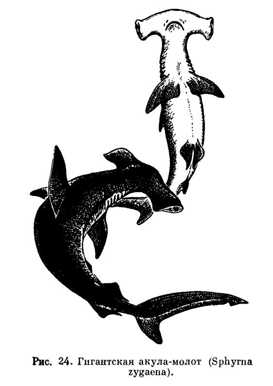 Молотоголовые акулы или Акулы-молоты.