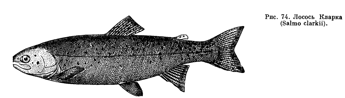 Red salmon, breeding male