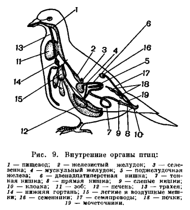 Передний отдел желудка птиц