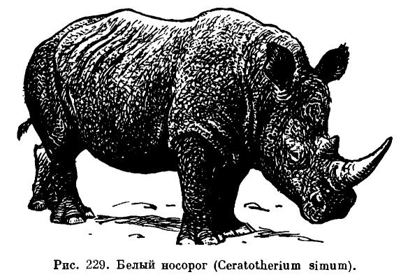 Живут черные носороги более 35 лет
