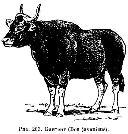 Бантенг – воплощение грации среди быков | 446x425
