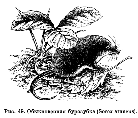 Хвоста — 3 5—5 см масса от 6—8 до 14—15 г