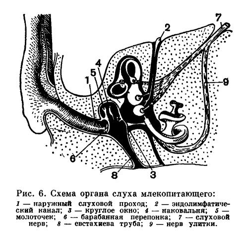 Органы слуха используют в своей работе те же механизмы, что и органы равновесия.  Слуховой аппарат собаки встроен в...