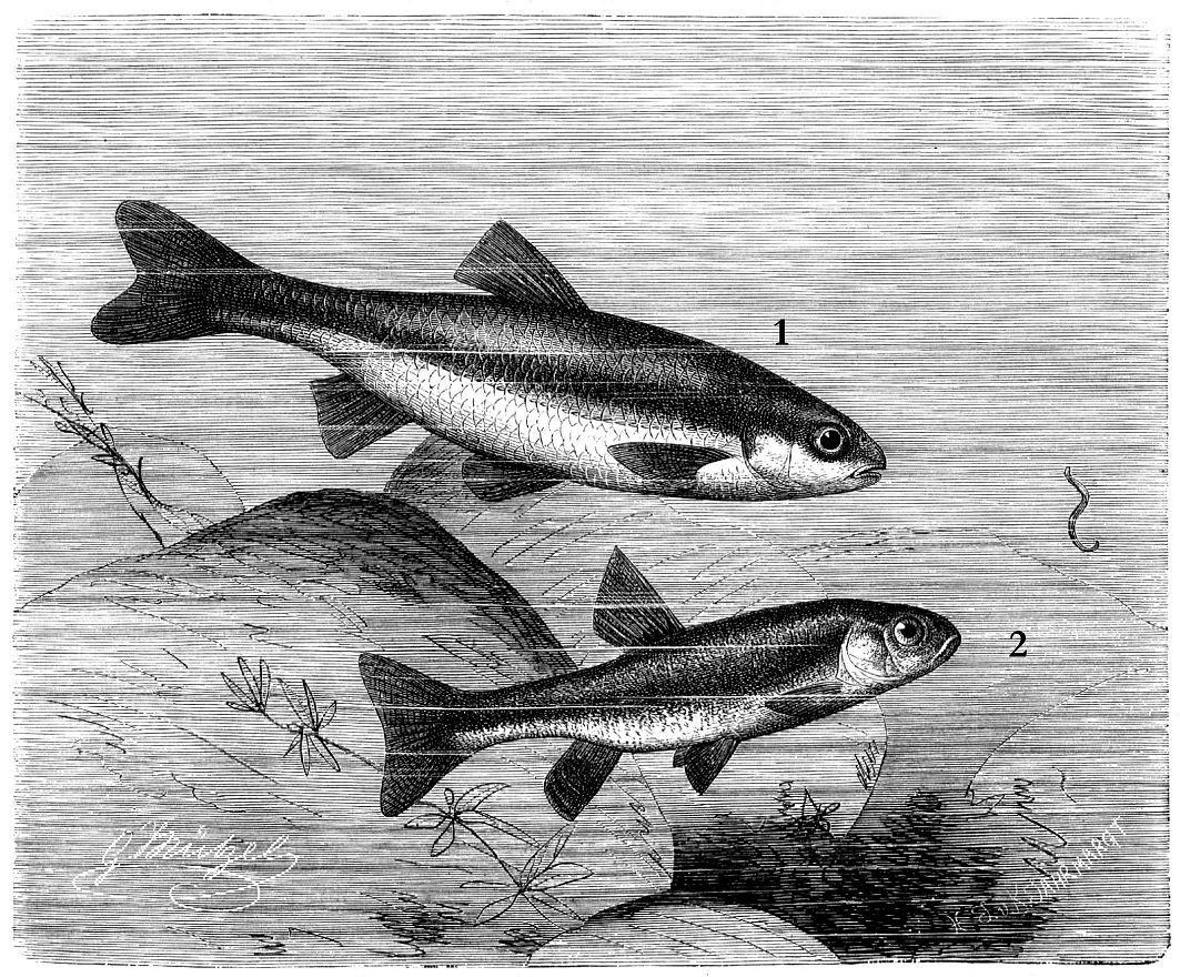 1 - Рислинг (Leuciscus sojfia) 2 - Гольян (Phoxinus phoxinus)